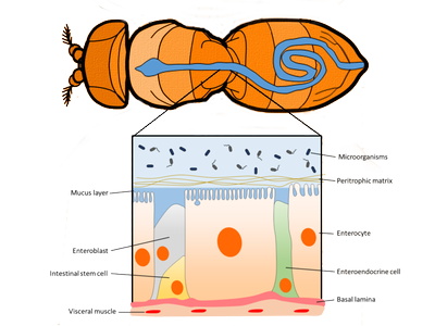 Scheme of the Drosophila gut